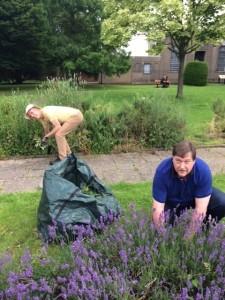 Weeding the lavender